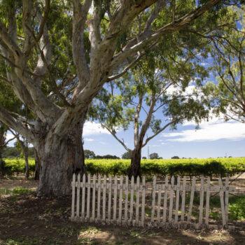 Gum Tree & Vines