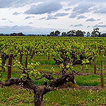 Budding vineyards