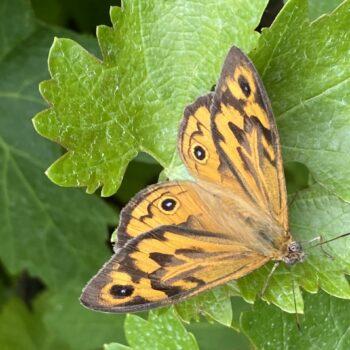 Float like a Monarch...