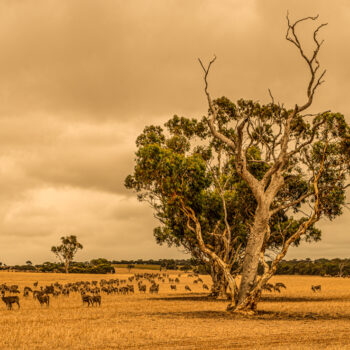 Sheep on the Stubble